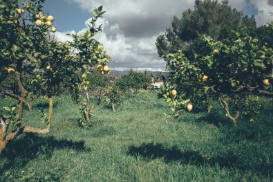 Mallorca Zitrusplantage