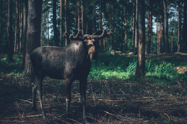 Virum Elchpark: Virum Tuna, Vimmerby, Småland / Schweden