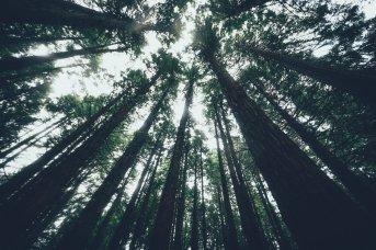 Redwoods im Whakarewarewa Forest
