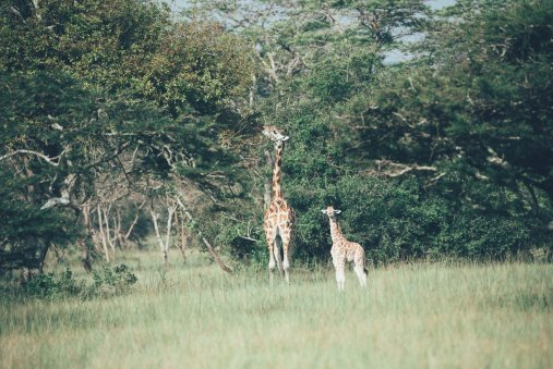 Giraffe im Mburo Nationalpark