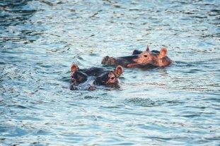 Nilpferde im Queen-Elizabeth-Nationalpark