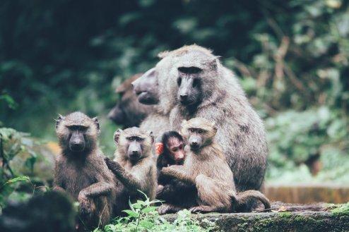 Paviane im Bwindi Nationalpark