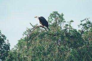 Adler im Queen-Elizabeth-Nationalpark