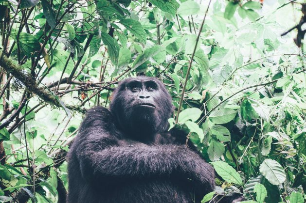 Gorilla im Bwindi Nationalpark