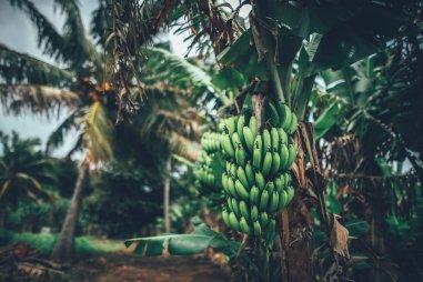 Bananen und Palmen - grünes Aitutaki