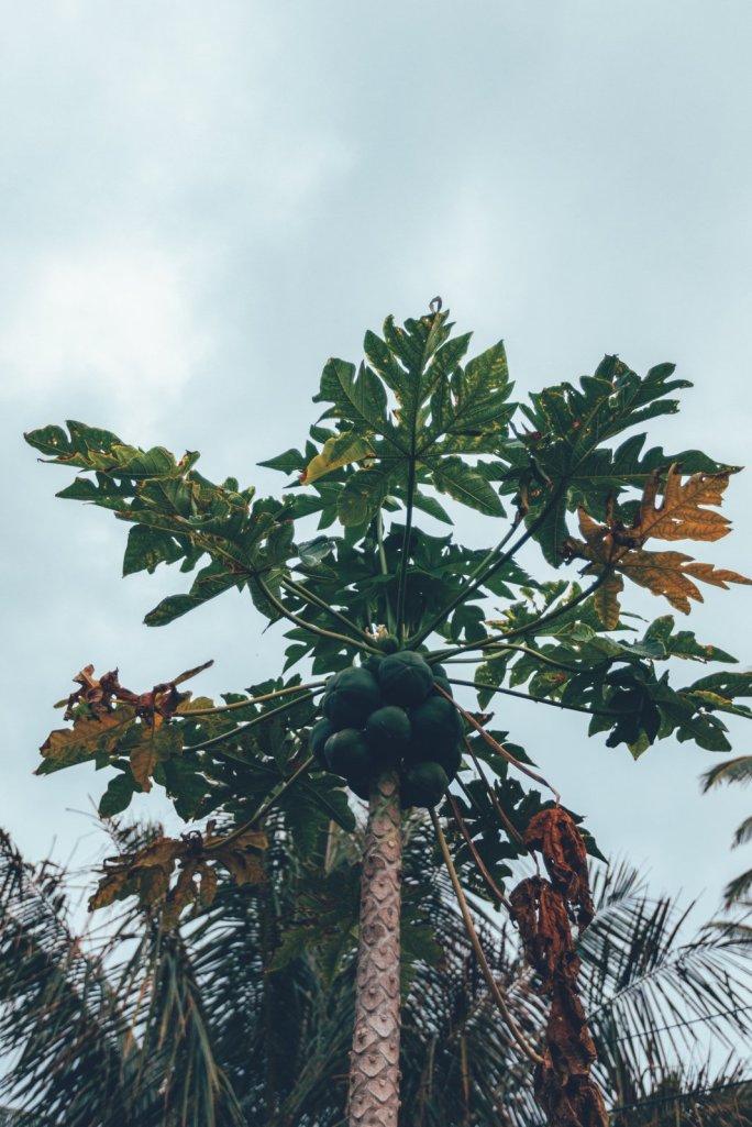 Frische Papayas in unserem Garten auf Rarotonga