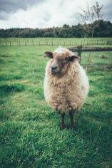 Schafe sind in Neuseeland keine Seltenheit