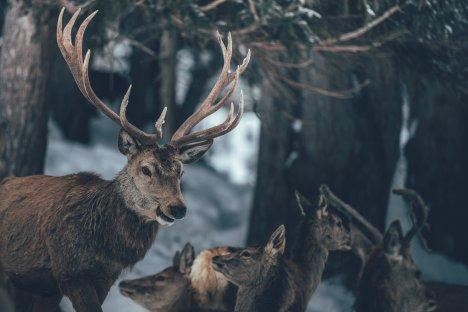 Hirschbock und Hirschricken auf der Hochalm