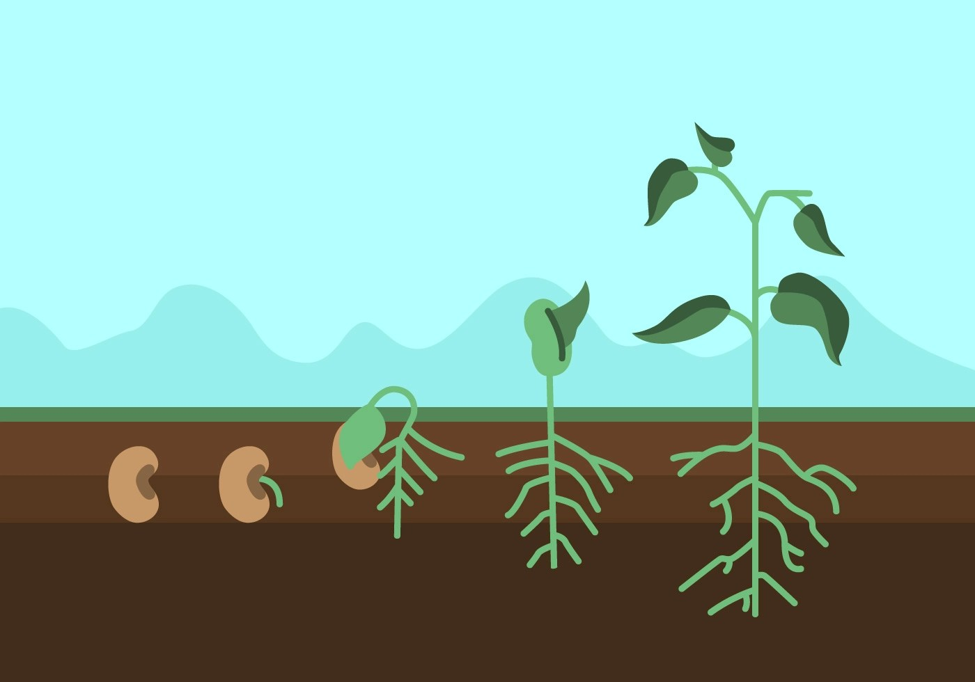 Vector Plant Growth Cycle