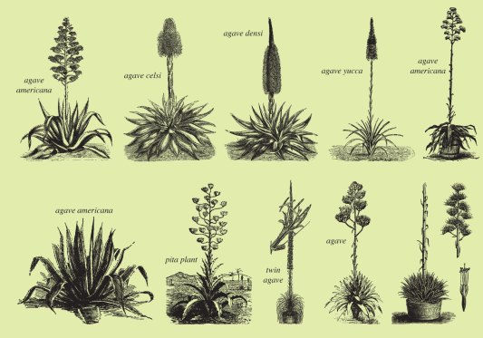 Some Agave Plants