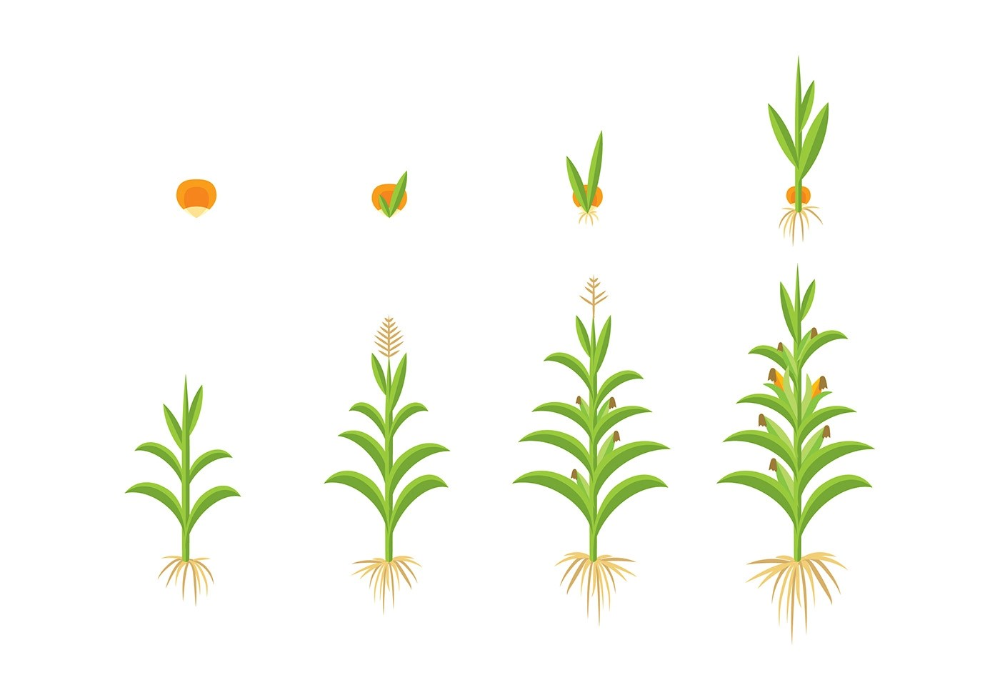 Grow Up Corn Vector