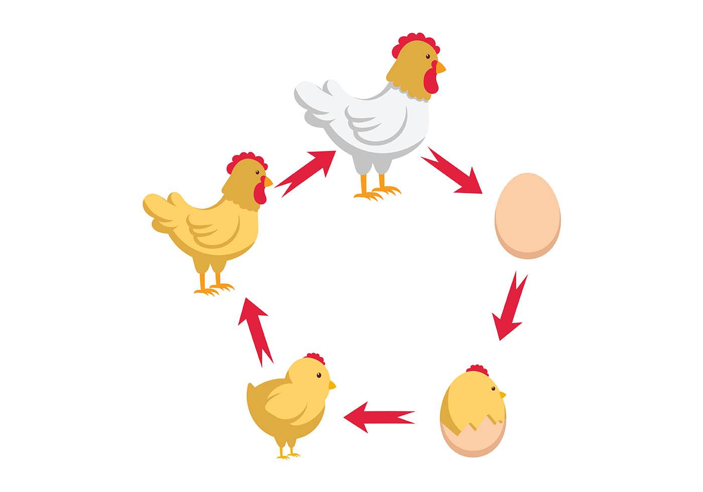 Chicken Life Cycle Vector