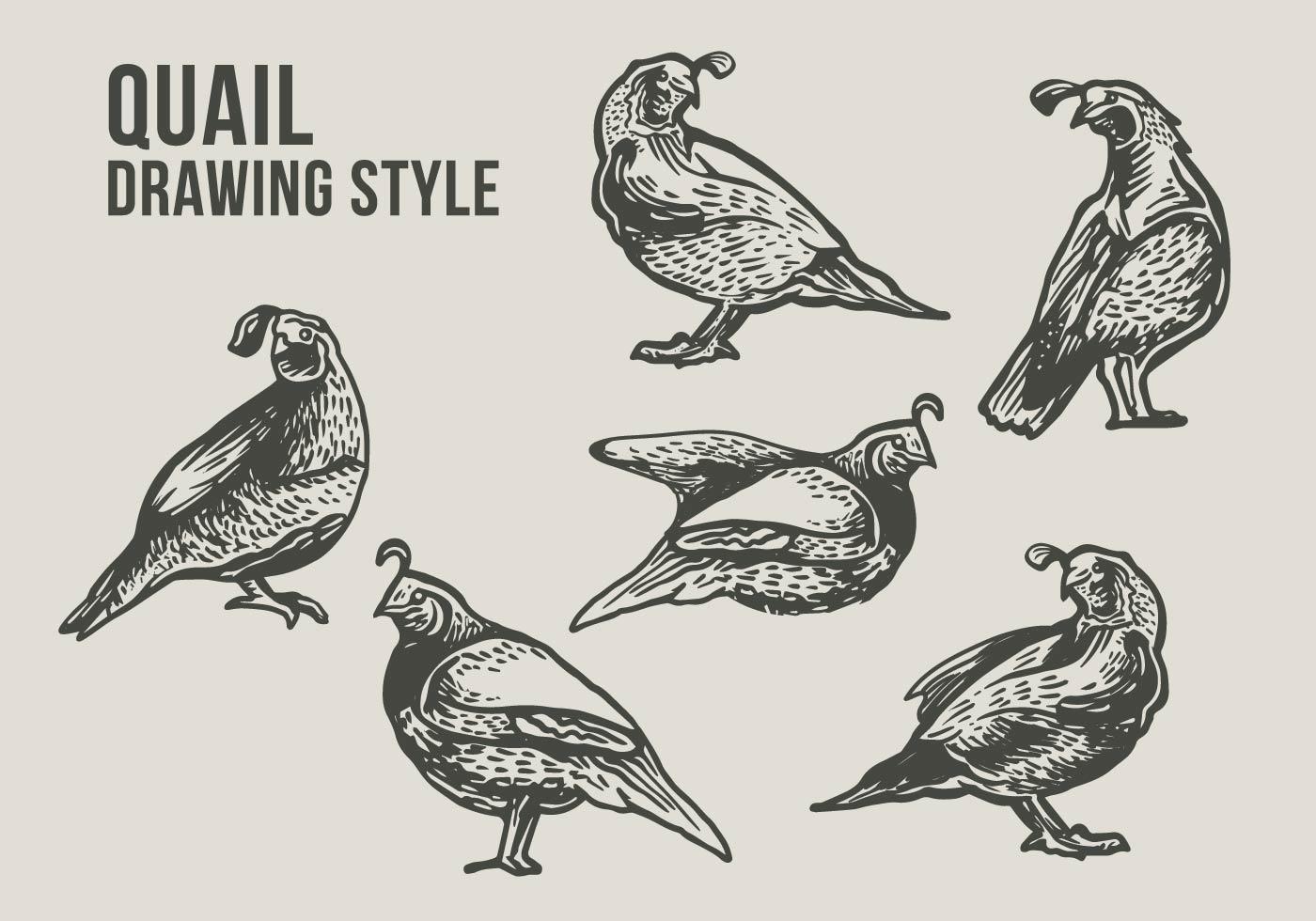 Quail Bird Drawing Illustration