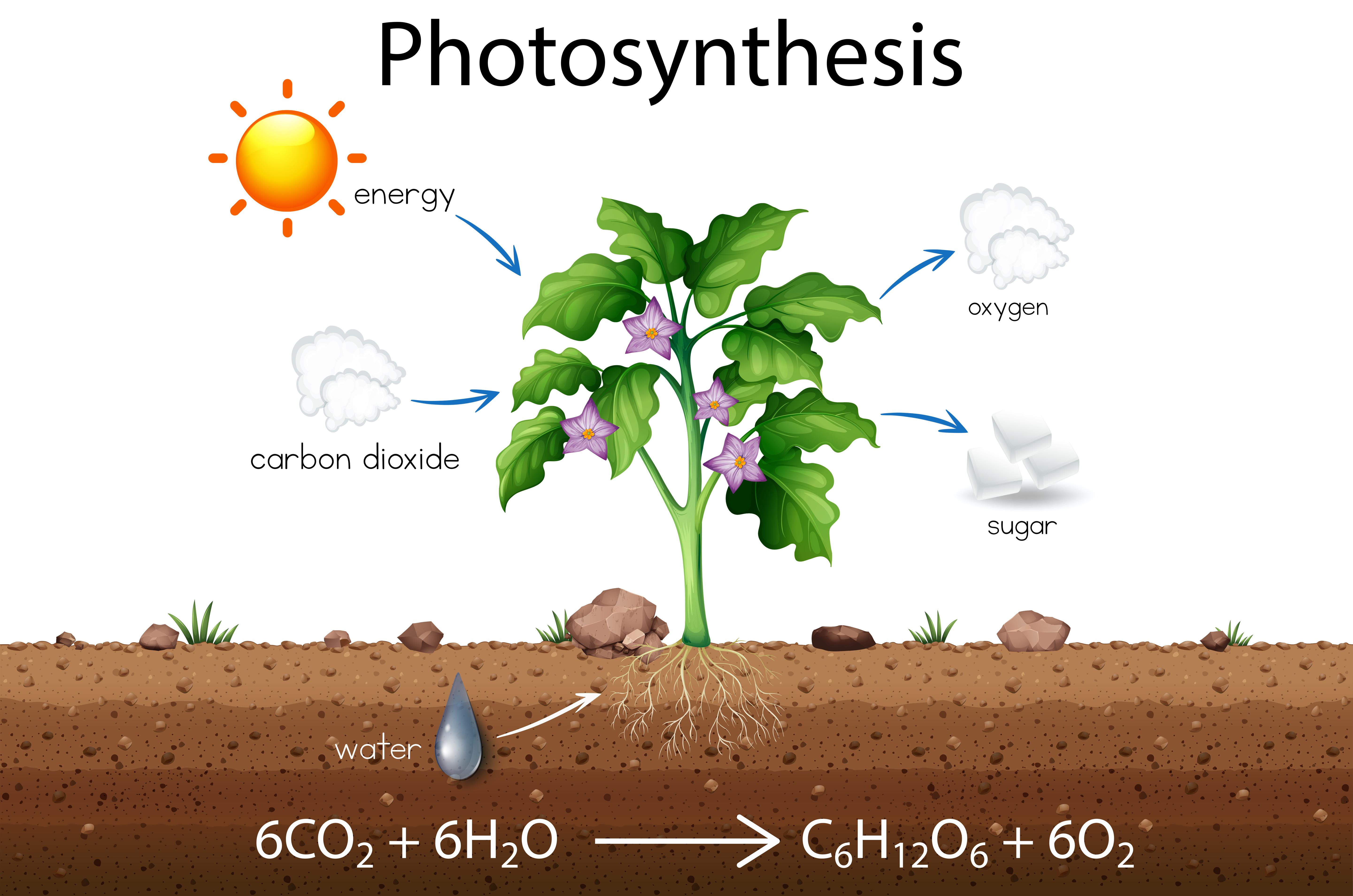 Photosynthesis Free Vector Art