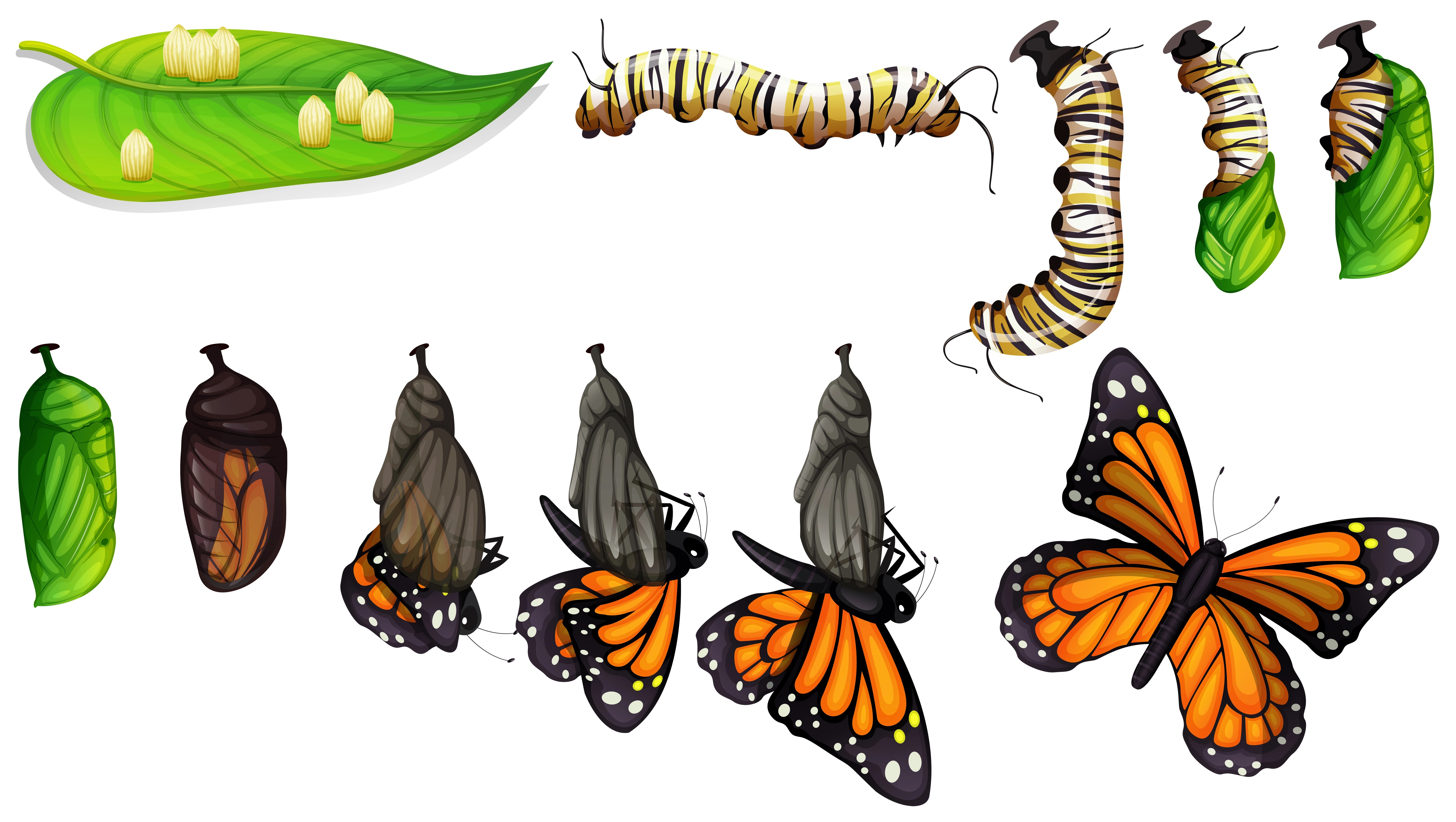 Butterfly Life Cycle Free Vector Art