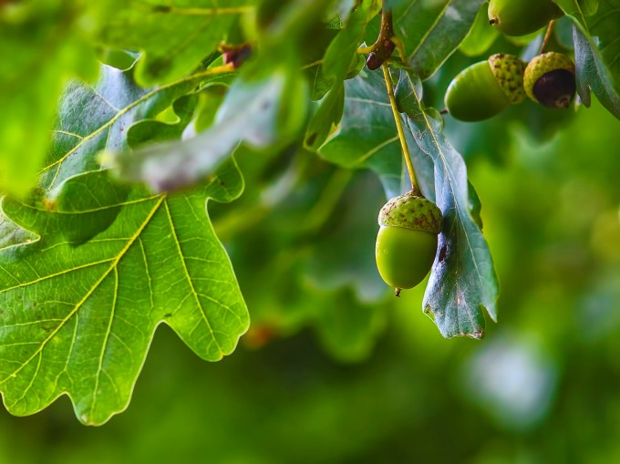 Are Acorns Poisonous To Dogs Acorns And Dogs Advice Vets Now