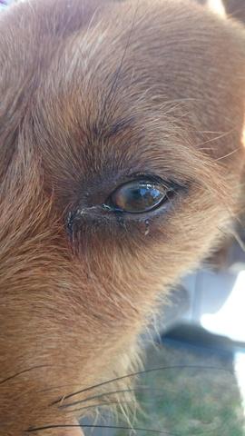 voile blanc sur l oeil de mon chien