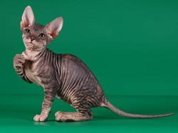 chat sphynx chat et chaton chat nu wamiz