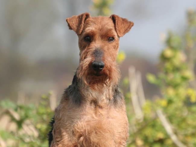 Welsh Terrier Chien Et Chiot Terrier Gallois Fox Du