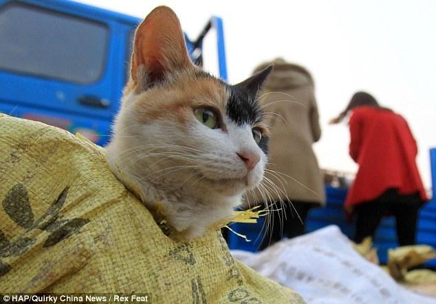 des chats destinés à être mangés sauvés d'une mort certaine en chine