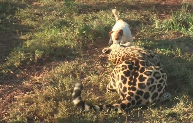 un chien et un jaguar deviennent meilleurs amis