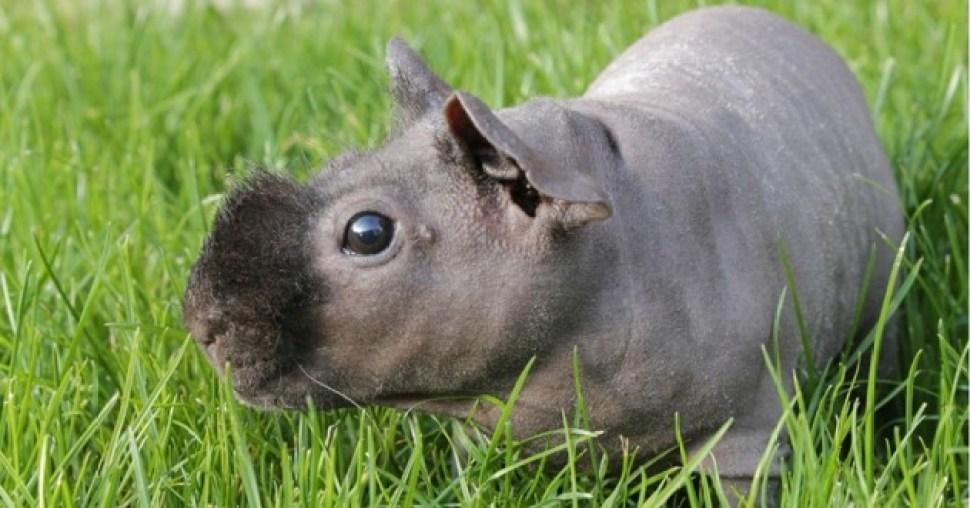 cochon d'inde sans poils peau lisse