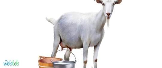 tbl_articles_article_17099_395 فوائد حليب الماعز.. هل تفوق حليب الأم وحليب البقر؟ فلاحة