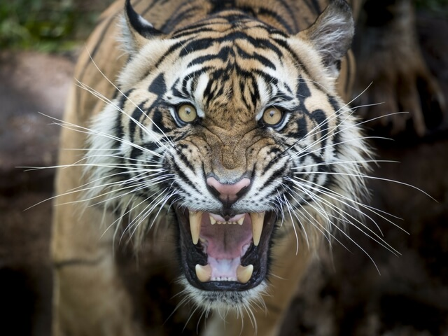 Antoine Yates Somehow Managed To Own A Tiger And Alligator In His Small Harlem Apartment One Day The Ed After Attempted Stop It From