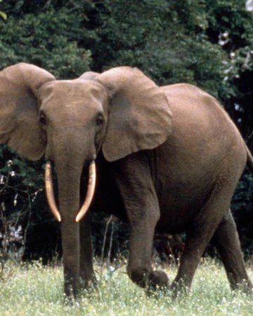 Plants and animals of the forest depend on the elephants for their own survival. African Forest Elephant Disney Animals Wiki Fandom