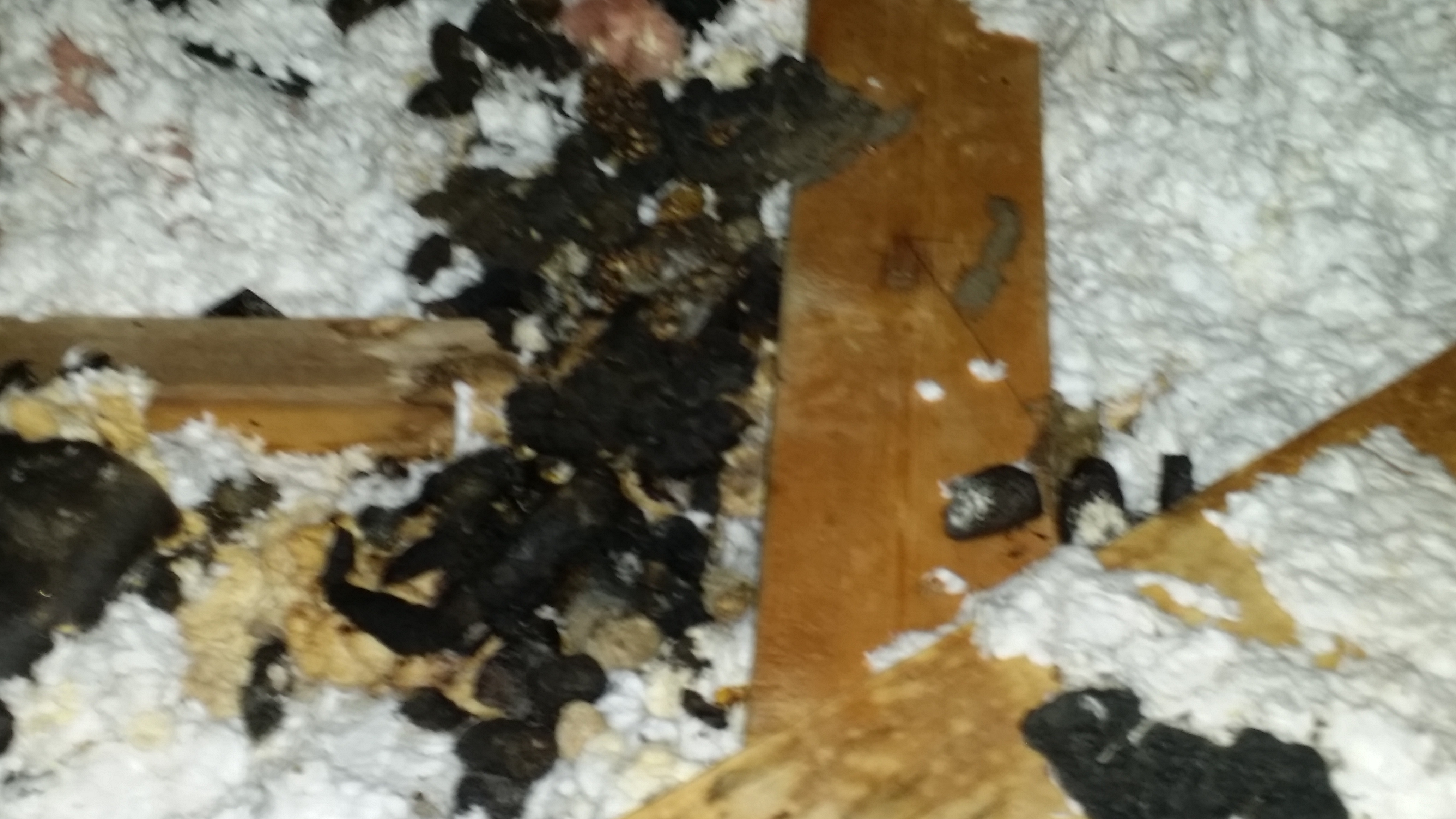 how to clean raccoon feces in attic