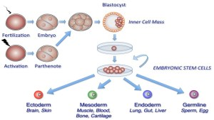 Are Human Embryonic Stem Cells now patentable in Europe