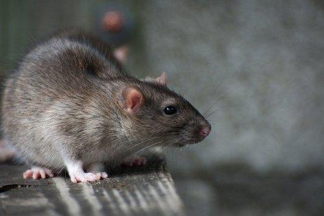مكافحة الفئران المنزلية