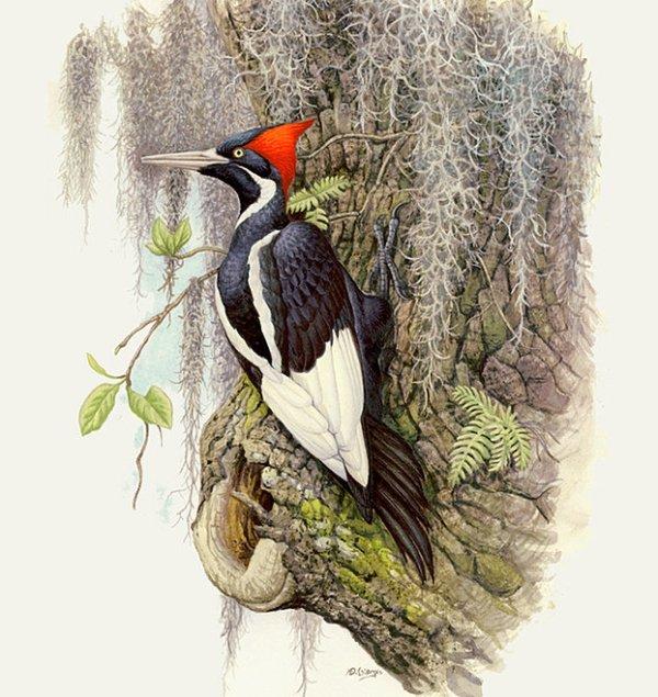 welcome ivorybilled woodpecker - 683×1000