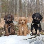 Pleasant Meadows Home Cavapoo Puppies