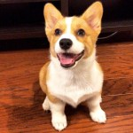 Quality Corgi Puppies For Sale United States