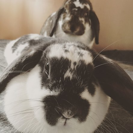 Picture of Fozzy and Bella, the house rabbits of Cat Ekkelboom-White