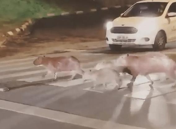 Capivaras Atravessam Faixa De Pedestres E Surpreendem Moradores De Cuiabá