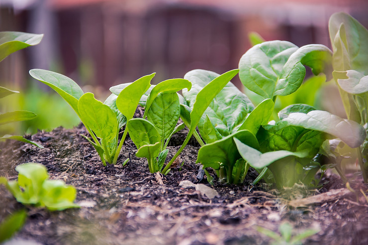 Spinach growing from the ground