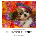 Shihtzu Puppies For Sale Teacup Toy Pets