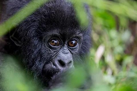 """Résultat de recherche d'images pour """"Vincent Gesser (""""Primates et Gorilles des Montagnes"""" photos"""""""