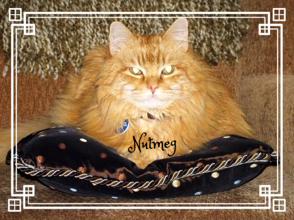 nutmeg maine coon cat sitting on a pillow in a brown chair is home sweet home meow