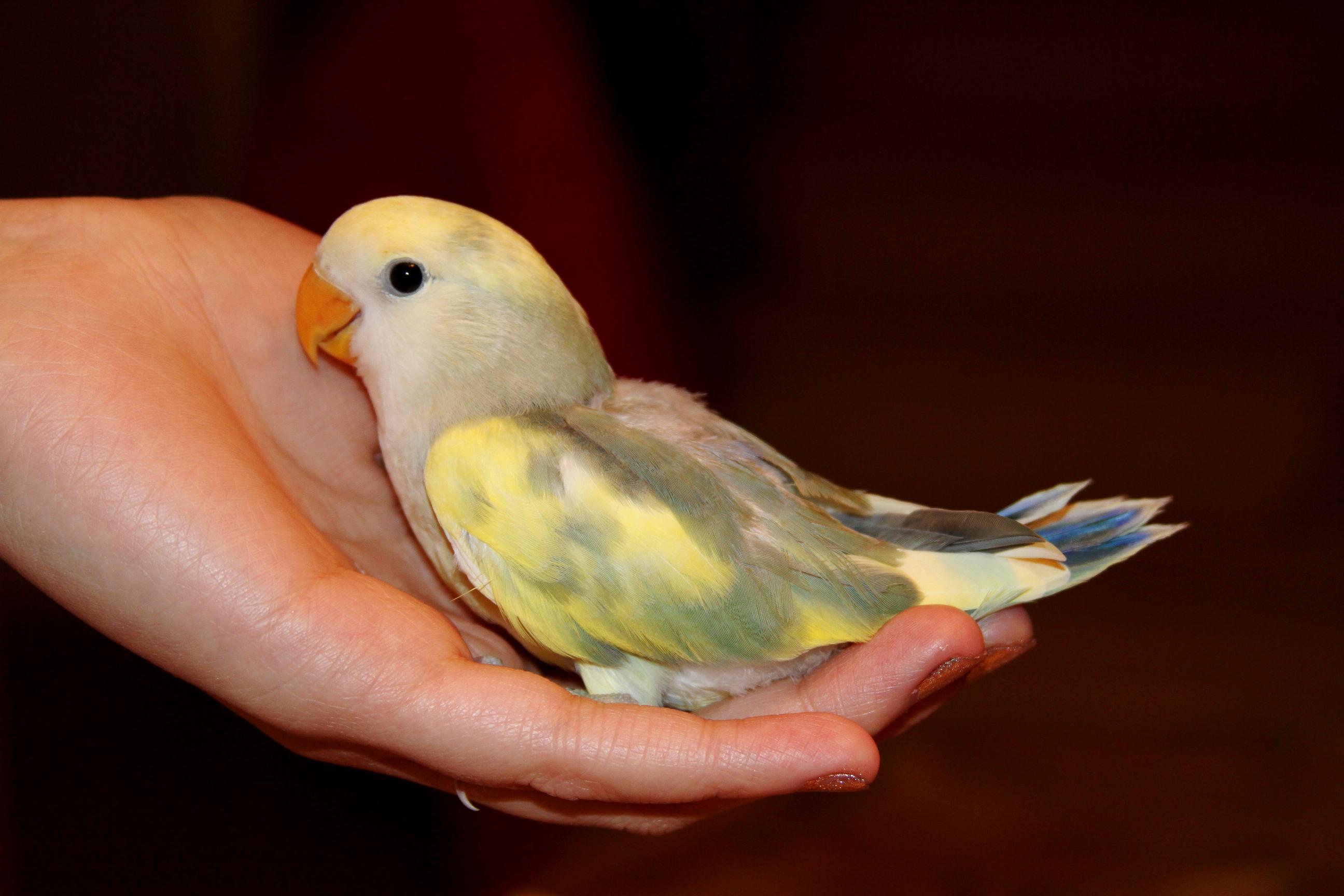 Love Birds Sale