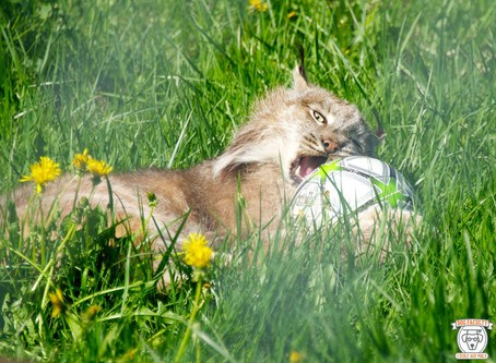 Bioparc - Le ballon de foot est au Lynx ce que la pelote de laine est au chaton! ça c'est du gros chaton!
