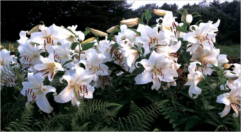 Striking Lilies  Ready for Revival   The New York Times Striking Lilies  Ready for Revival