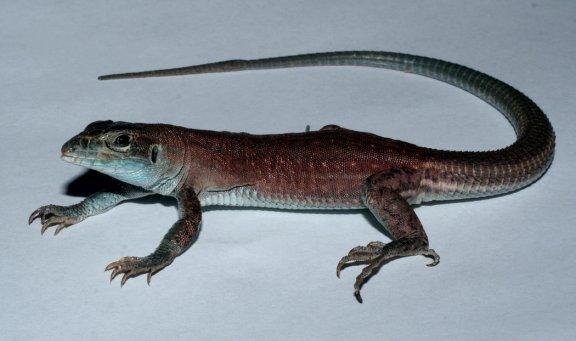 Hybrid lizard - Aspidoscelis exsanguis x Aspidoscelis inornata