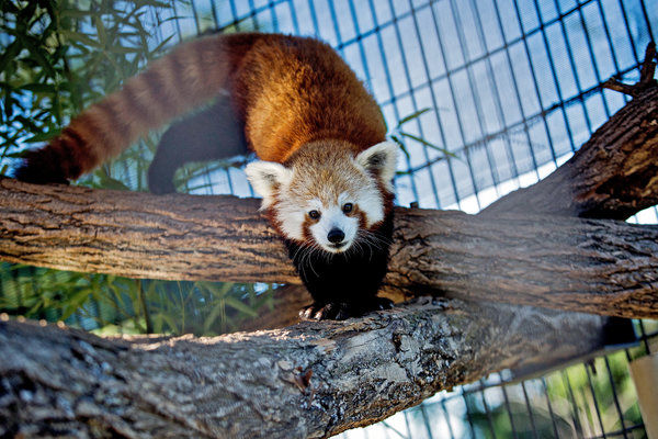 A red panda reaches two feet long, not counting its bushy tail. Credit Drew Angerer for The New York Times