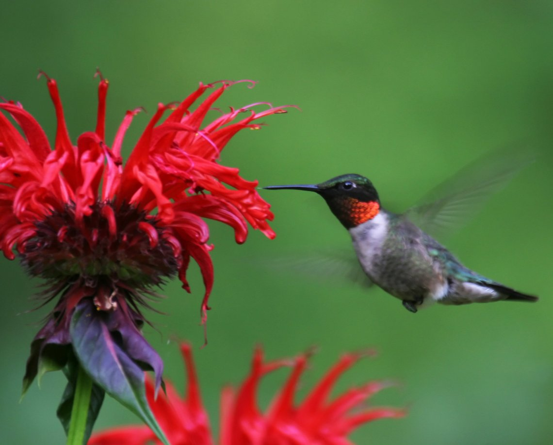 Hummingbirds Are Lovely Loners Drawn To New York City S Parks In Fall The New York Times