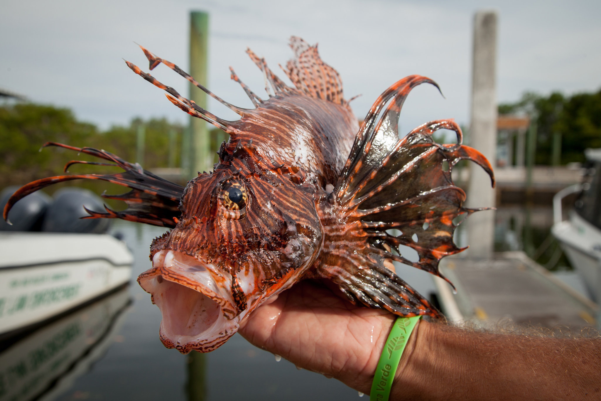 Florida Needs A Lionfish King Or Queen It Could Be You