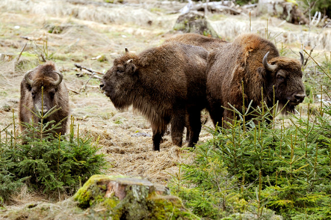 21xp bison master675 - A Year of Animal Oddities Around the World: 7 Reader Favorites