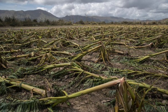 Puerto Rico s Agriculture and Farmers Decimated by Maria   The New     Image